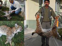 Leopardan sonra vaşak da öldürdüler