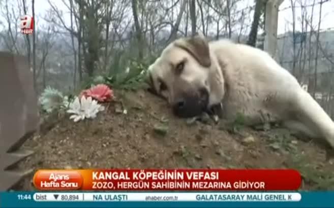 Kangal köpeğinin vefası