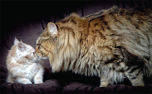 Dünyan�n en büyük kedisi