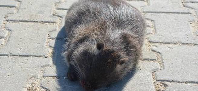 Edirne'de su maymunu yakalandı