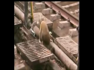 Maymun elektri�e kap�lan arkada��n� böyle kurtard�