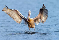 Turkey's third largest city,  Izmir, will host migrating pelicans on a specially constructed island, the second such sanctuary in the region after an island for flamingos was built in...