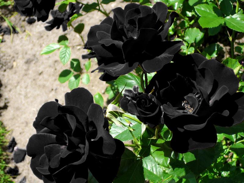 The black rose of Halfeti - Daily - 97.9KB