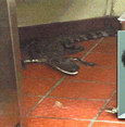 Man charged with tossing alligator through Florida drive-thru window in prank