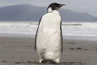 Two Australian teens were charged with slaughtering nine penguins on Tasmania's northern coast, police said Friday.  Penguins are a protected species in Australia. The two suspects were 18 and...