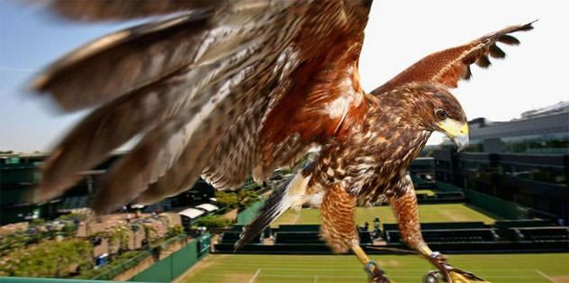 Wimbledon'ın koruyucu şahini çalındı
