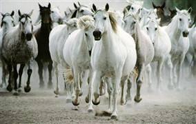 Yılkı atları doğayı koruyor