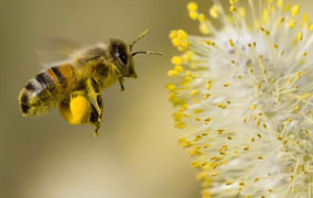 Arı poleni şifa veriyor