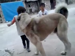 Çocukla kangal köpeğinin oyunu