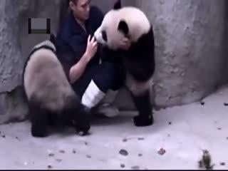 İğneden kaçan pandalar