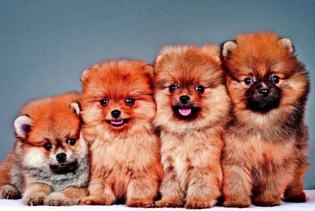 Elitlerin vazgeçilmez minik dostları: Pomeranian