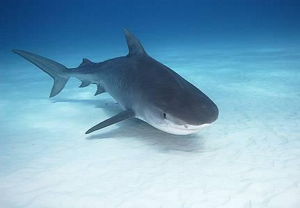Натуральный акулий жир