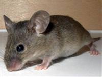 Dünyadaki en büyük fare, ne kadar büyüklükte?