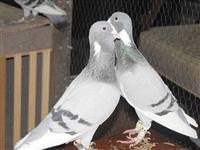 Güvercinler nas�l takla at�yorlar?