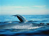 Balinalar�n ömrü kaç y�ld�r?