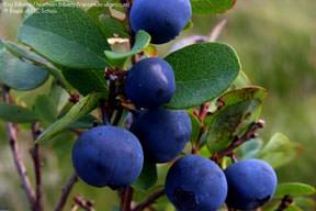 ягоды садовые фото и названия