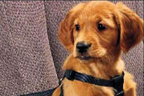 Köpeklere emniyet kemeri zorunluluğu