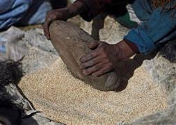 Açl��a çare olacak bitki: Quinoa