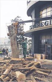 Sabancıların ağaç katliamı