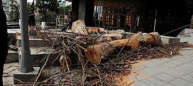 CHPli belediye 100 yıllık çınar ağacını kesti