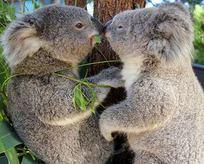 Avustralyada koala katliamı