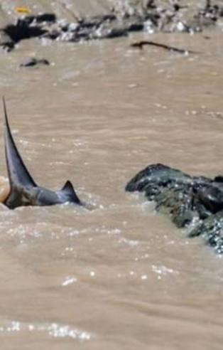 Timsah köpek balığına böyle saldırdı