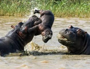 Vahşi doğada ölümcül kavgalar