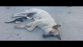 Sokak köpeğinden yavru kediye annelik