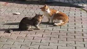 Sinirlenince boynu tutulan kedi