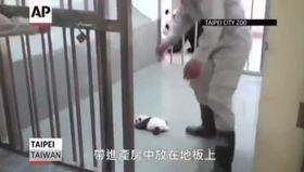 Bebek pandanın annesiyle ilk buluşması