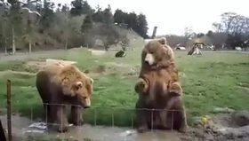 El sallayan ayılar