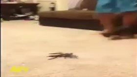 Oyuncak örümcek kedinin aklını aldı